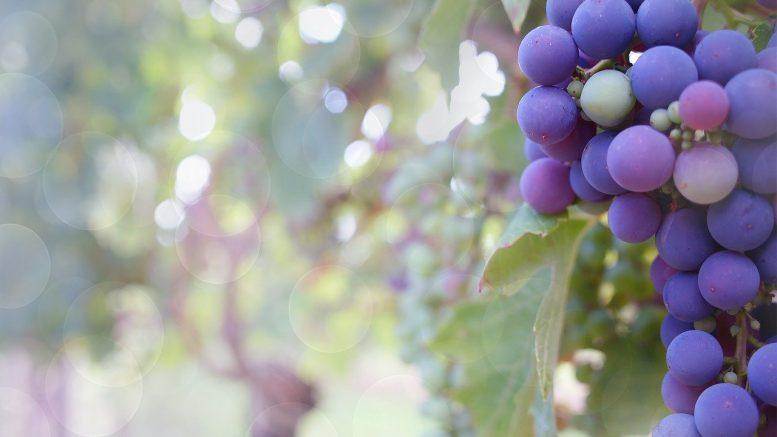 vignoble, raisin, Bouchard Père et Fils